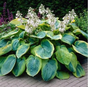 HOSTA FUNKIA Frances William 0175 3szt